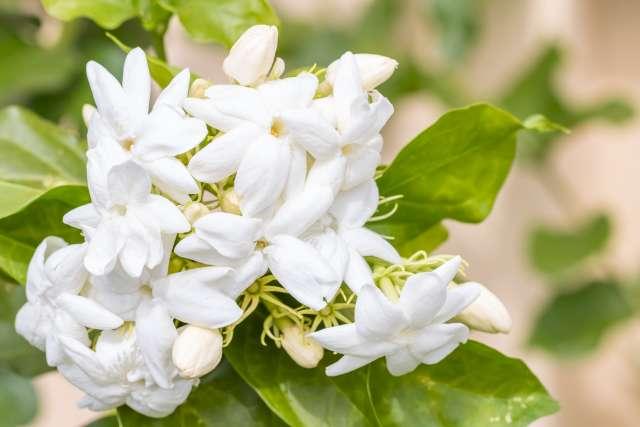 Une photo illustrative de beaucoup de fleurs de jasmin à grandes fleurs et de leurs feuilles vertes. Le fond de l'image est constitué de feuilles vertes floutées.