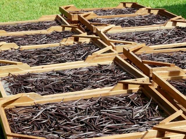 Une photo illustrative de certains claies remplis de gousses de vanille de couleur brune afin que celles-ci puissent sécher au soleil.