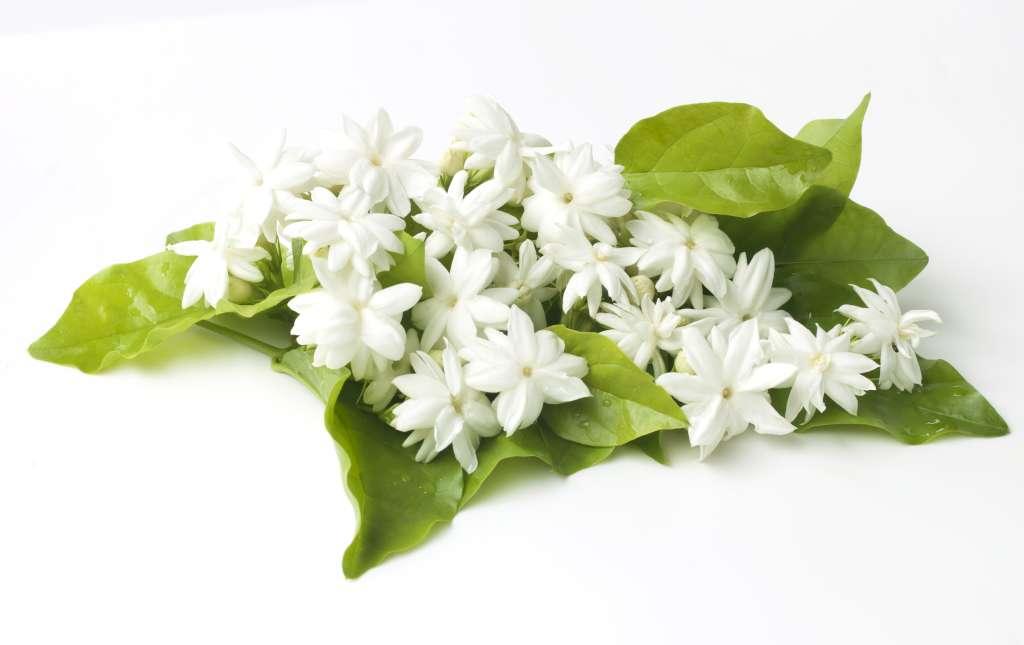 Le jasmin en parfumerie, une fleur précieuse.